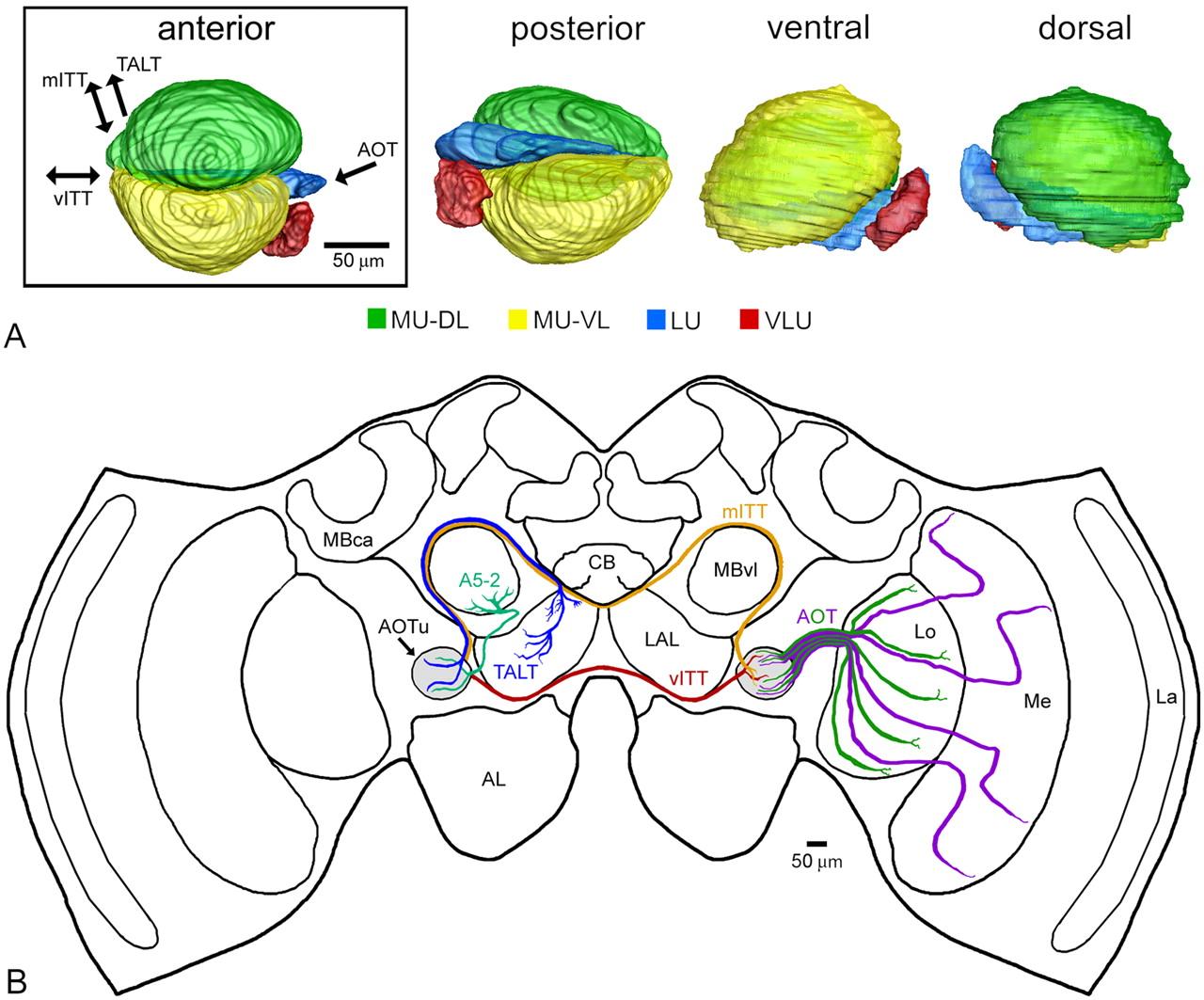 Behavioral Neuroscience, lecture on Honey Bee Proboscis Extension ...