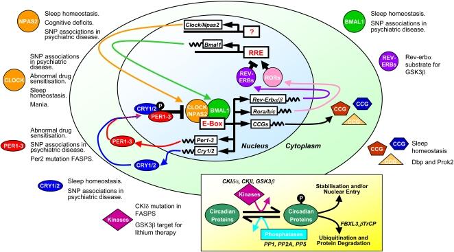 Molecular mechanisms of Circadian Rhythms