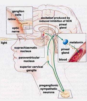 scn pvn sc scg ne b2 camp diagram of parts of an inhaler diagram of sensory pathway