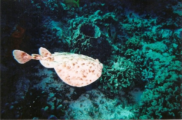 Torpedo Marmorata Marbled Electric Ray 2 Rivers And