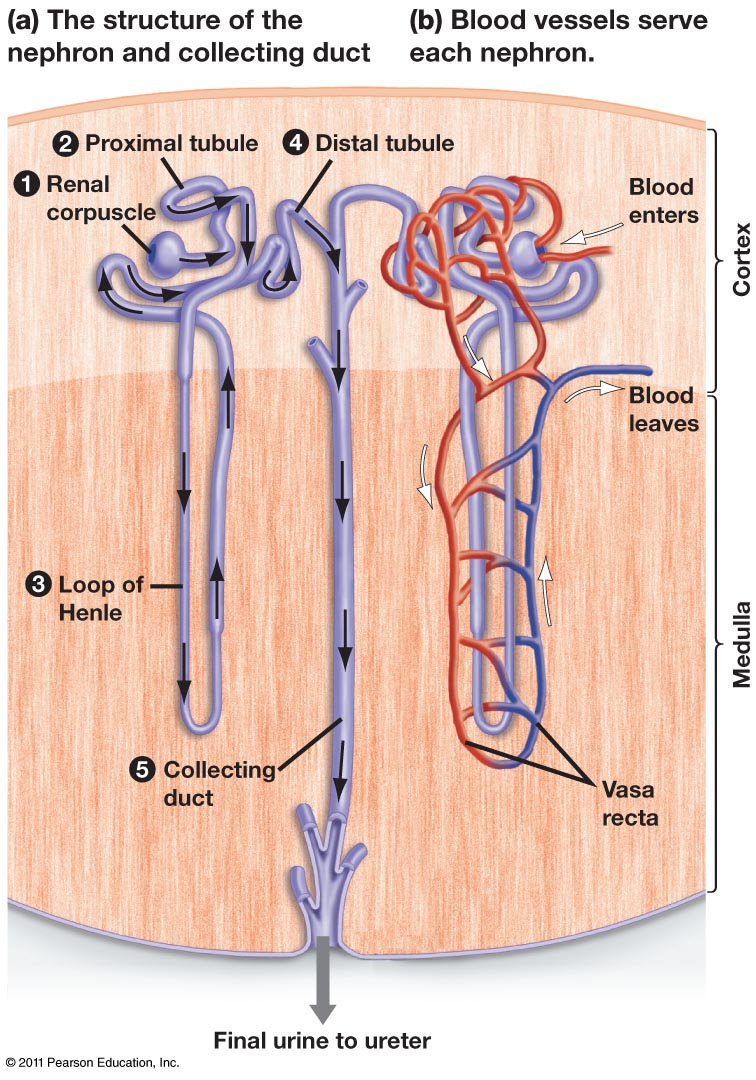 nephron research paper example