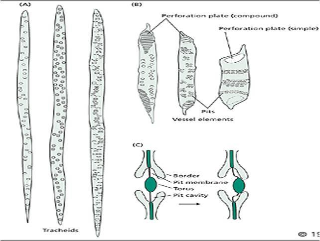 3 Vascular Bundle